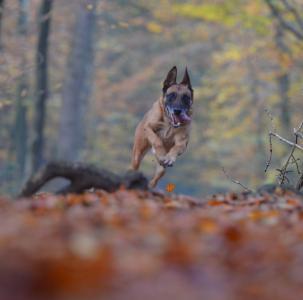 秋天, 狗, 走狗, 森林, 叶子, 自然, 玛利诺