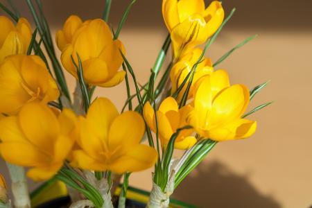 花, 番红花, 黄色, 黄色春天花, 春天的花朵, 早就崭露头角, 植物