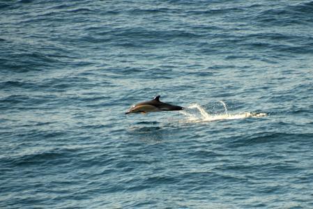 海豚, 大西洋, meeresbewohner, 水的生物, 海洋哺乳动物, 海洋, 海豚