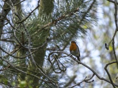 知更鸟, 鸟, 自然, 野生动物, 动物, 红色, 树