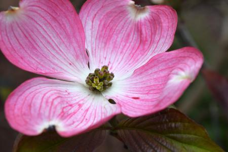 山茱萸, 茱萸, 花, 绽放, 粉色
