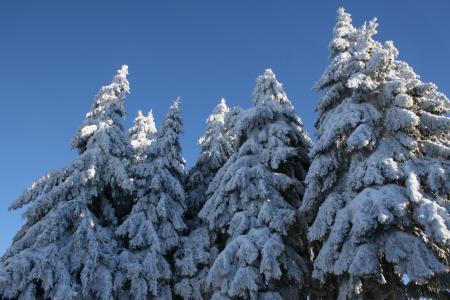 雪, 白雪皑皑, 枞树, 冬天, 树木