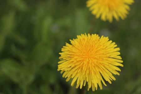 蒲公英, 开花, 绽放, 黄色, 植物, 夏季