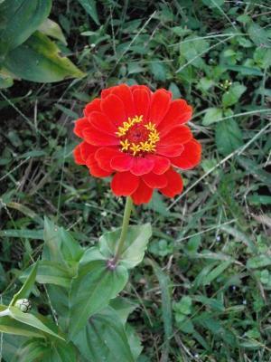 日线虫, 百日草, 红色的花朵