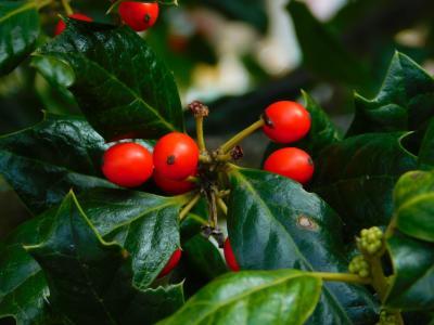 浆果, 冬青树, 植物区系, 山, 绿色, 红色, 植物