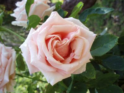罗莎, 花, ro, 粉色, 花, 花园