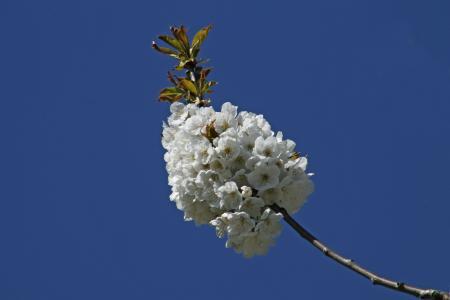樱花, 蓝色春天, 绽放, 开花, 春的觉醒, 白色, 分公司