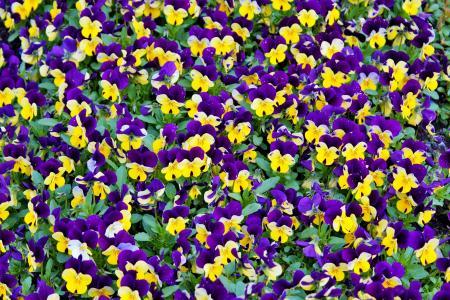 花, 三色堇, 开花, 绽放, 自然, 紫罗兰色, 黄色