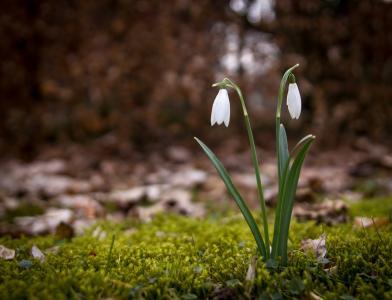 雪莲, 春天, 雪花莲, 花, 森林的地面, 自然, 春天植物