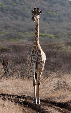 长颈鹿, 南非, 萨凡纳