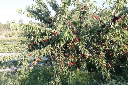 樱桃, 树, 字段, 山, 环境, 叶子, 树干