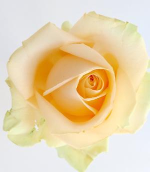 ros, 黄色, 爱, 花, 花瓣, 特写