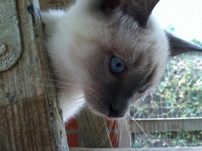 暹罗猫, 小猫, 猫, 蓝色的眼睛, 蓝色, 户外, 脸上