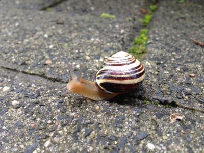 蜗牛, 铺路石, 动物, 壳, 探头