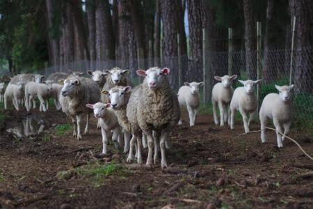 羊, 牛群, 牧场, 羊群, 动物, 草甸, 哺乳动物