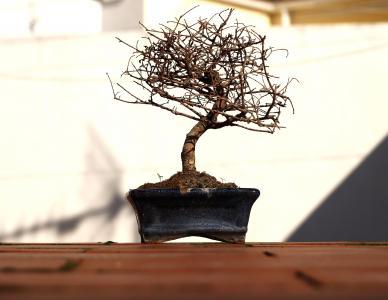 盆景, 树, 花盆, 分支机构, 秋天, 植物