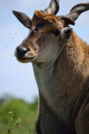 羚羊, 内罗毕, 内罗毕国家公园, 肯尼亚, 非洲, 羚羊, 野生动物园