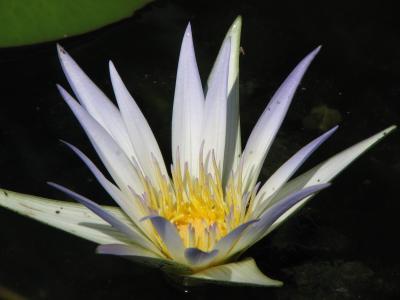 睡莲, 水, 百合, 白色, 莲花, 池塘, 花