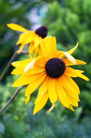 向日葵, 花, 黄色, 夏季