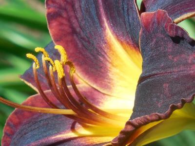 黄花菜, 花, 白天, 百合, 春天, 花香, 自然
