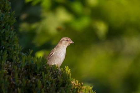 斯珀林, 麻雀, 鸟, 一种动物, 在野外的动物, 动物主题, 野生动物