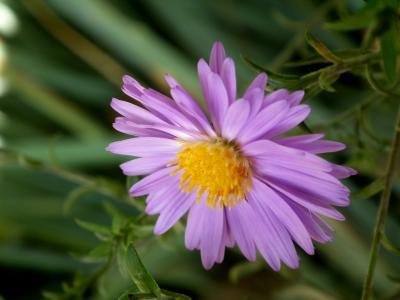 花, 菊花, 紫色, 美丽的花, 花园里的花, 多彩, 花瓣