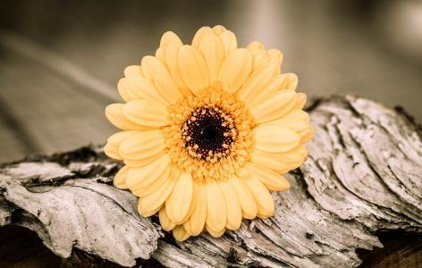 非洲菊, 黄橙, 花, 开花, 绽放, schnittblume, 木材