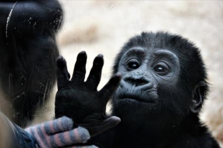 布拉格动物园, ajabu, 动物, 灵长类动物, 猿, 野生动物, 哺乳动物