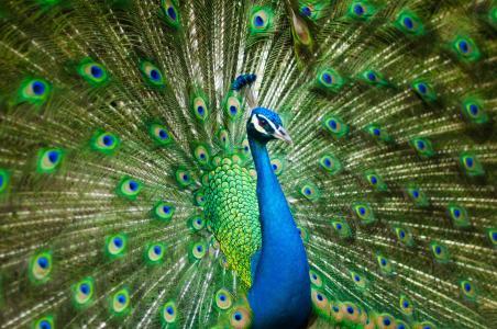 美丽的雄性孔雀, 多彩, 鸟, 羽毛, 动物园, 孔雀, 孔雀羽毛