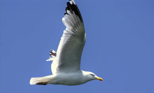 海鸥, 天空, 飞, 鸟, 蓝色, 翼, 飞行