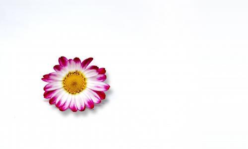开花, 绽放, 菊花, 极简主义者, 花, 宏观, 植物