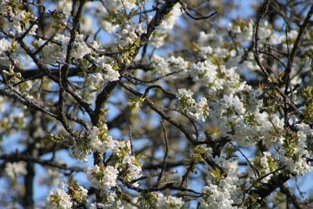 樱花, 春天, 开花