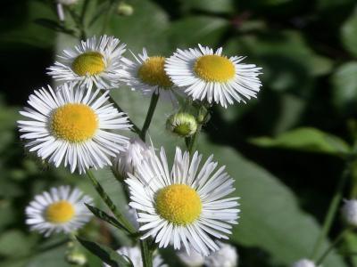 洋甘菊, 单, 花