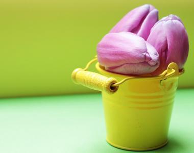 郁金香, 斗, 郁金香花, 黄斗, 紫色, 紫色郁金香, 黄色