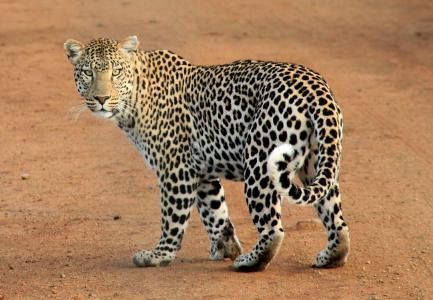 动物, 豹, 捕食者, 野生动物园, 野生, 野生动物, 野生动物