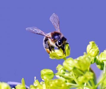 蜜蜂, 昆虫, 关闭, 自然, 动物, 宏观, 花