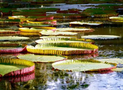 水, 水百合, 粉色, 绿色, 毛里求斯, 台湾萍蓬草, 水生植物