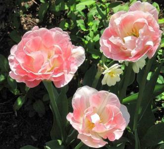 玫瑰, 粉色, 花园, 自然, 夏季, 花, 粉红色的颜色