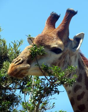 长颈鹿, 哺乳动物, 非洲, 自然, 野生动物园, 头