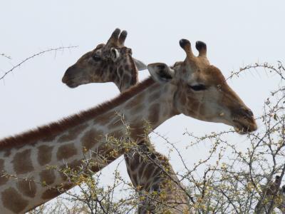 长颈鹿, 埃托沙, 纳米比亚