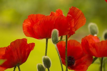 罂粟, 花, 春天, 花园, 盛放, 自然, 花蕾