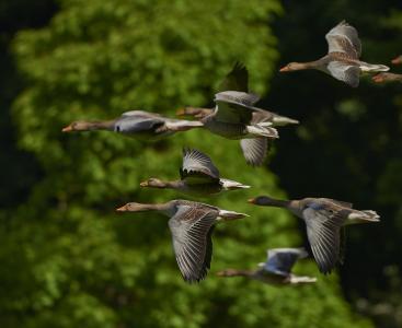群鸟, 加拿大鹅, 鹅, 翼, 鹅, 动物, 水