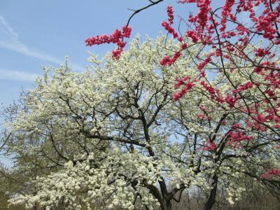 樱花, 白色, 红色, 公园, 植物, 树, 自然