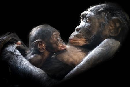 猩猩, 哺乳动物, 年轻, 儿童, 母亲, 大坝, 婴儿