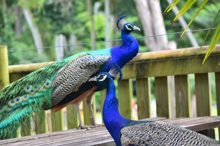 孔雀, 动物园, 鸟, 动物, 野生动物, 颜色, 羽毛