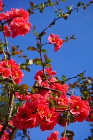 日本观赏木瓜, 花, 红色, 红色橙色, 布什, 分公司, 木瓜粳
