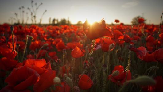 选择性, 焦点, 照片, 日落, 光, 红色, 罂粟