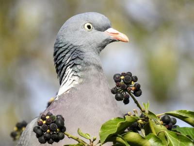 斑鸠, 鸽子, 鸟, 自然, 动物