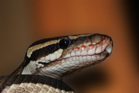 蛇, 球蟒, python 丽君, 美, 棕色, ballpyhton, 莫哈韦