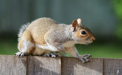 松鼠, 灰色, 棕色, 毛皮, 可爱, 哺乳动物, 啮齿类动物